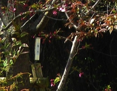 DSCN3572陽光桜.jpg